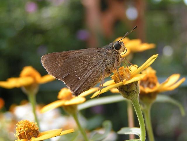 ジニアとイチモンジセセリ蝶